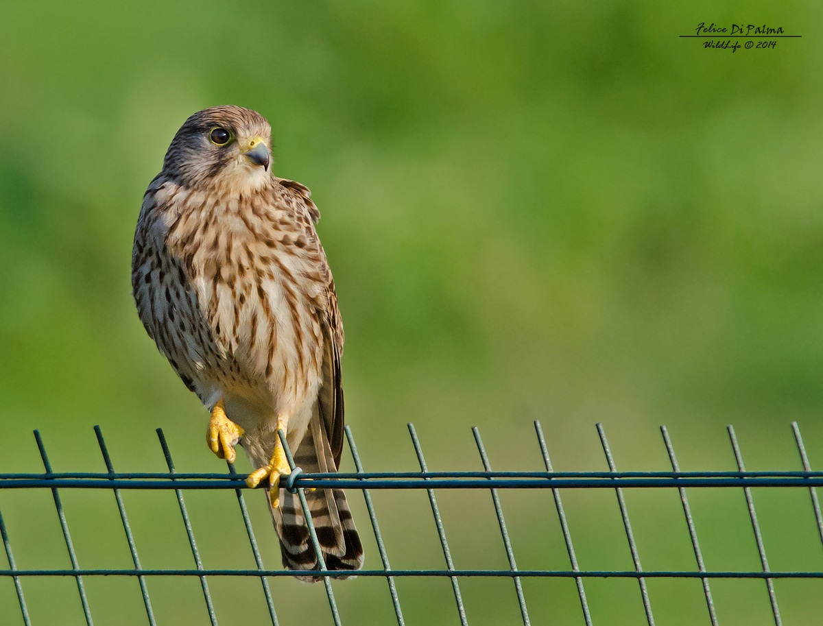 The look of the Kestrel...