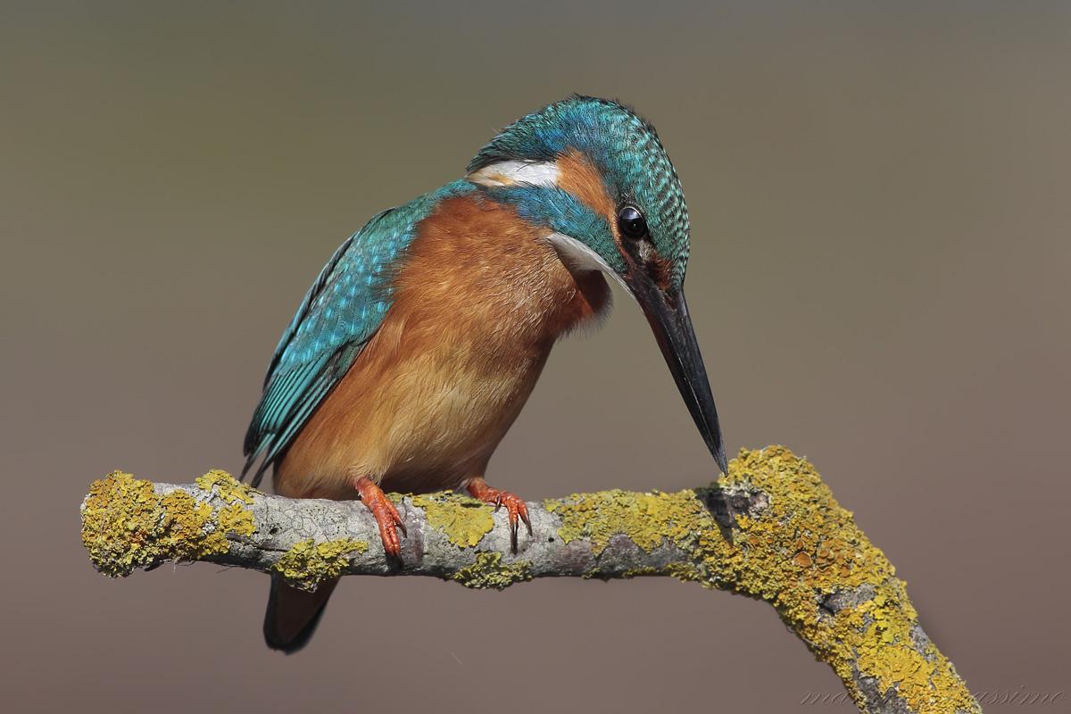 Kingfisher (Alcedo atthis)...