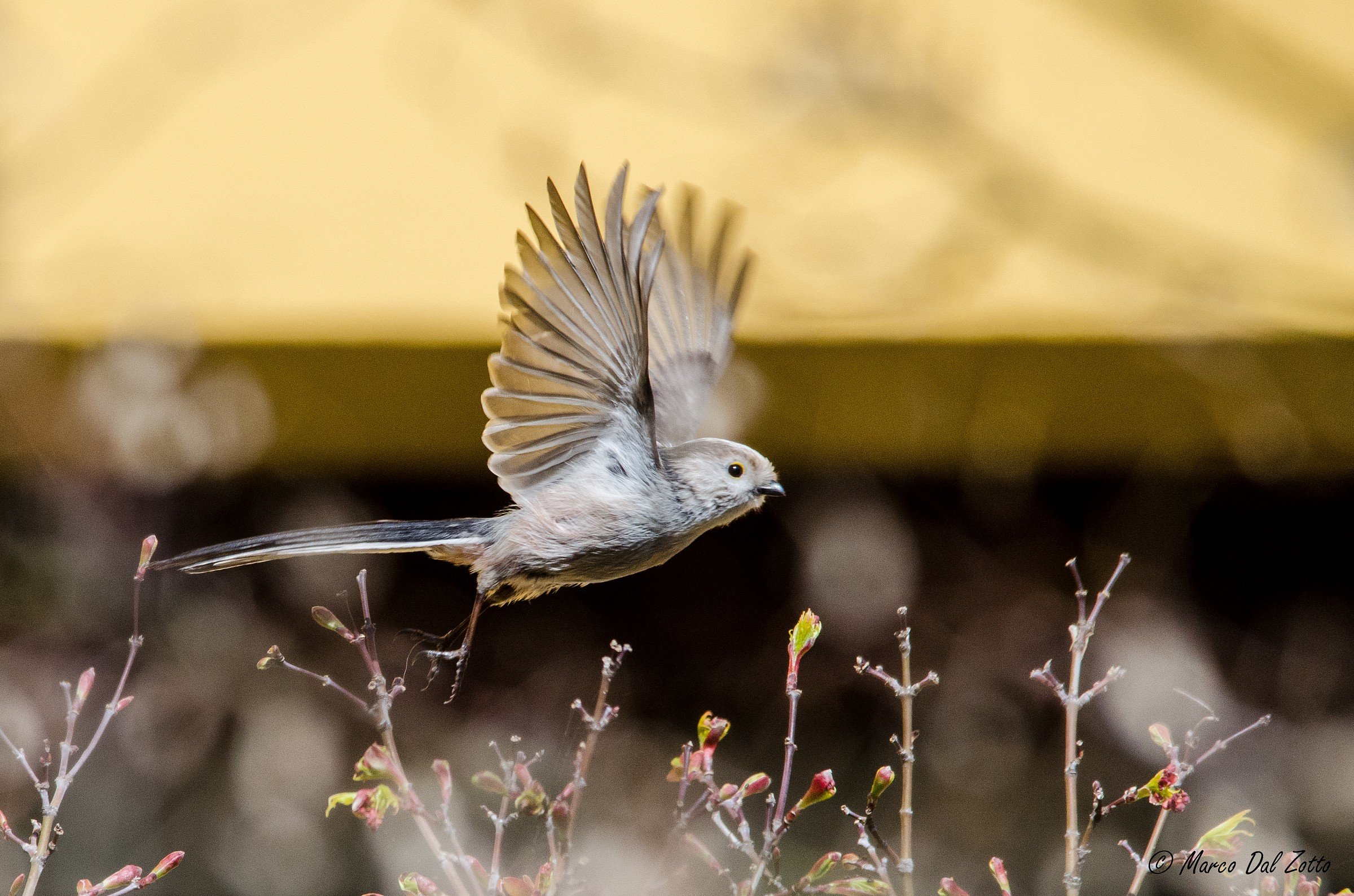 The flight of the long-tailed tit...