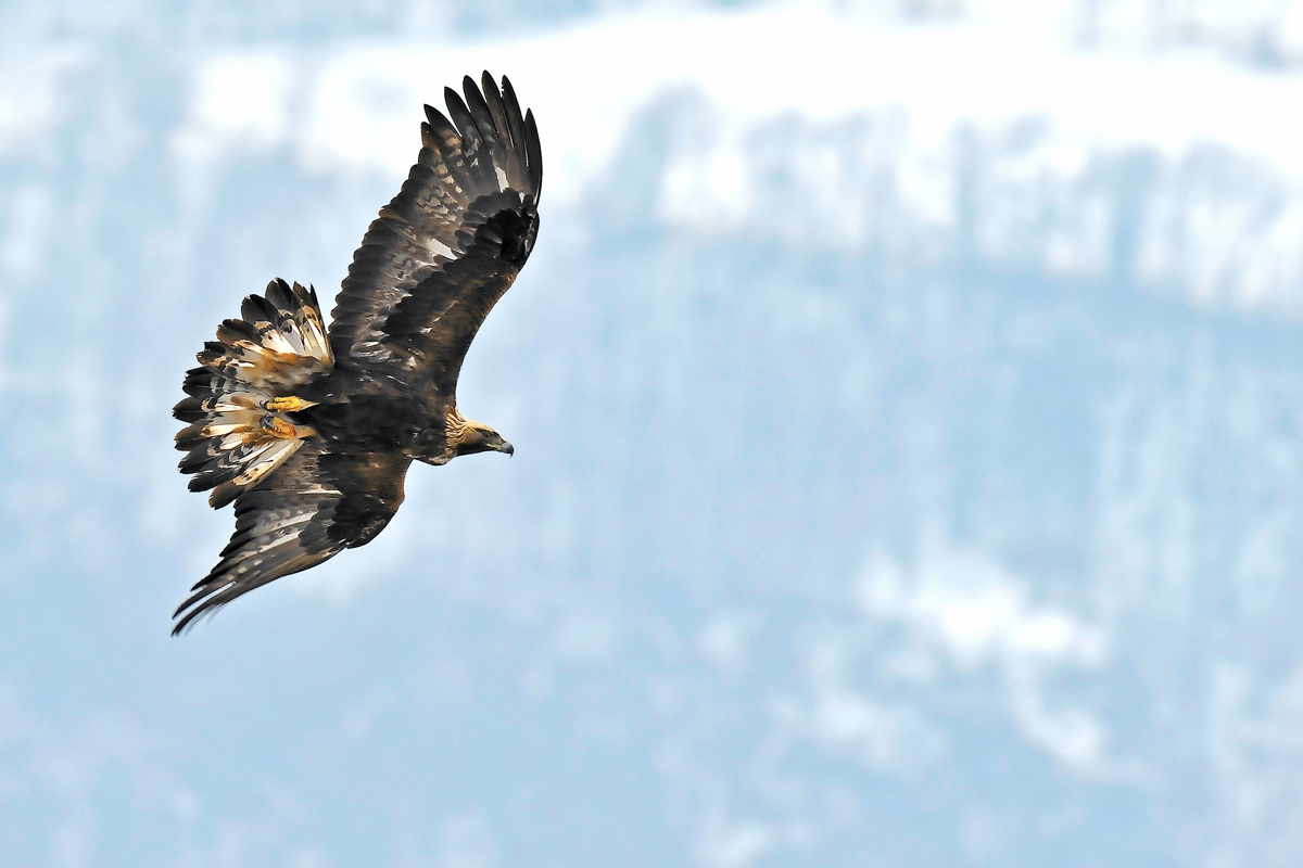 Golden Eagle ... opps I saw! ......