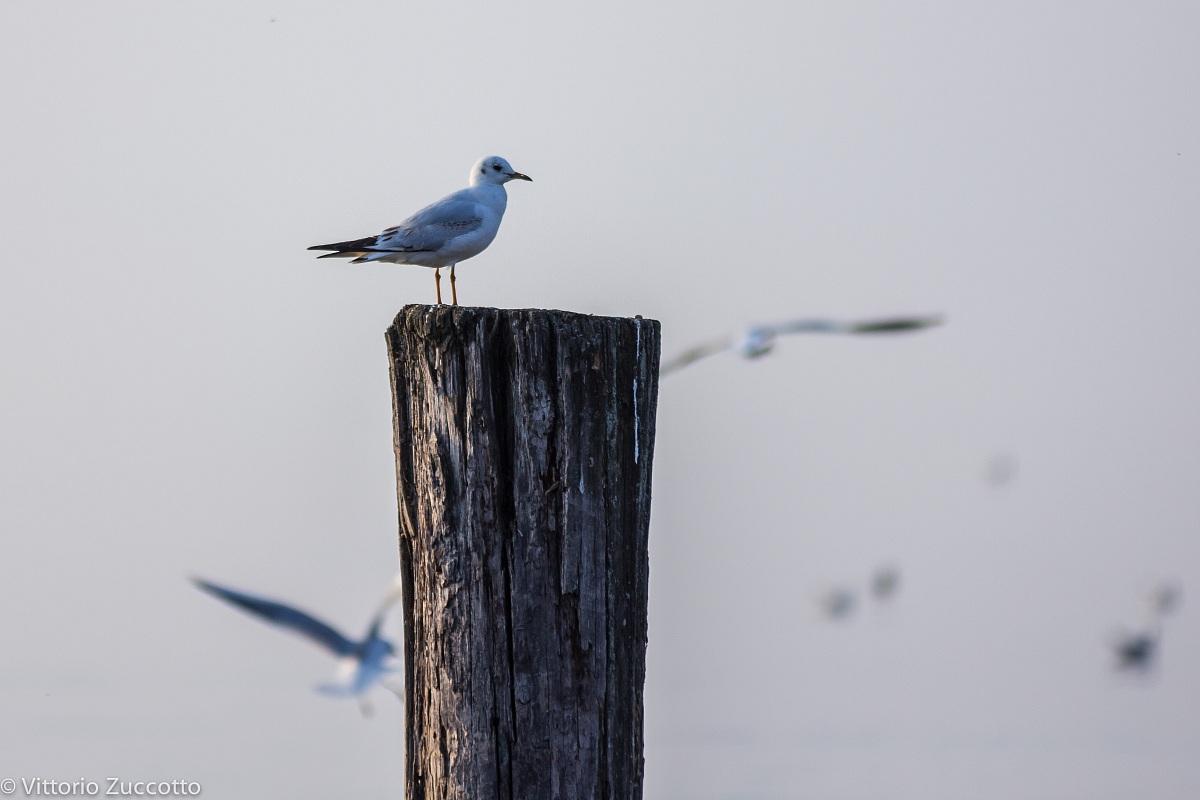 Seagull in Lazise...