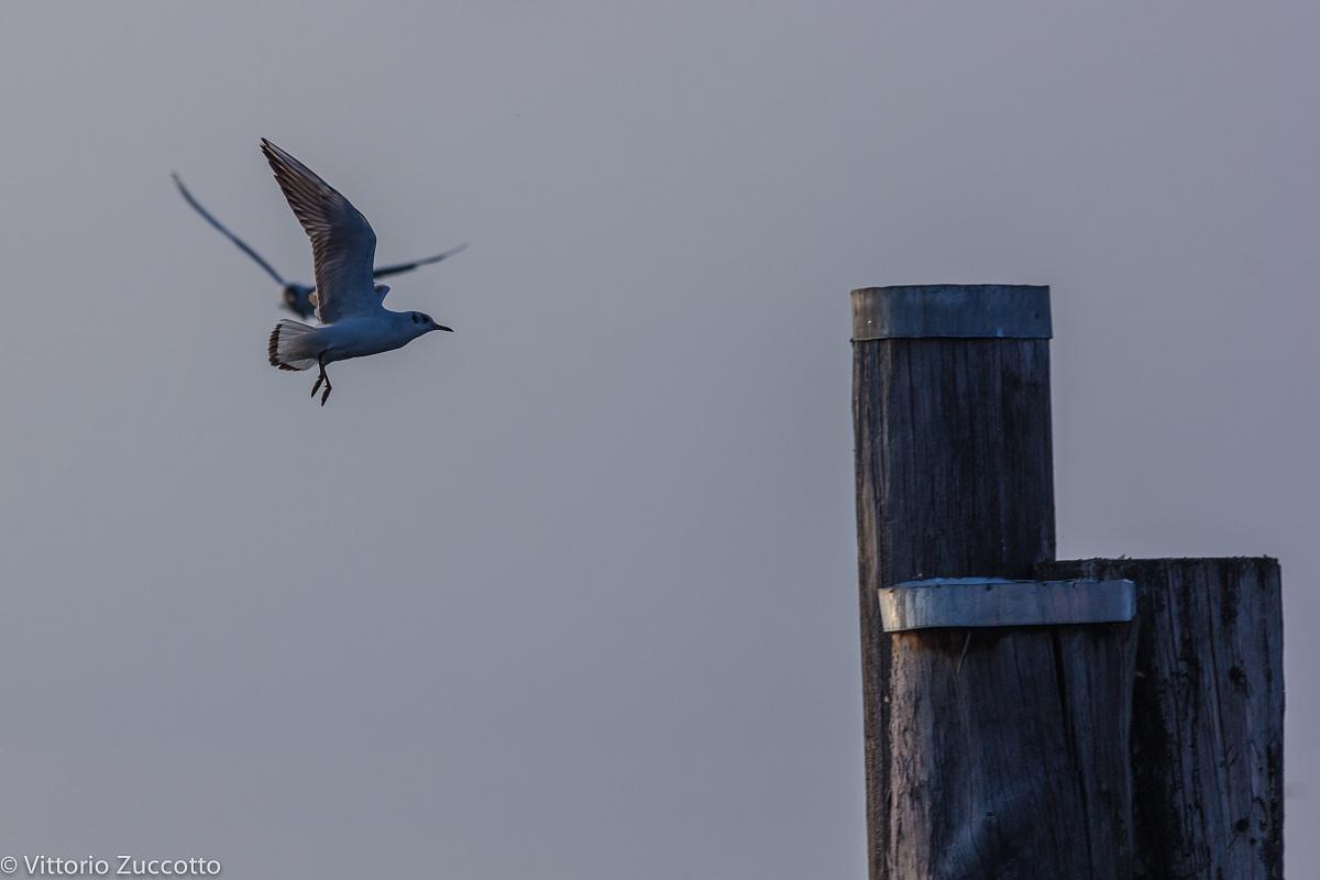 Gulls in Lazise...