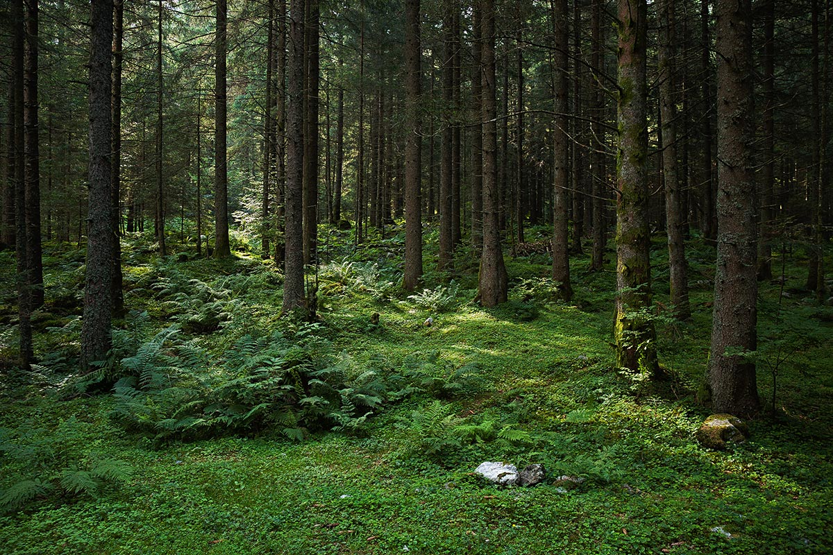 Pinewood of Bresciadega, Val Codera (province Sondrio)...