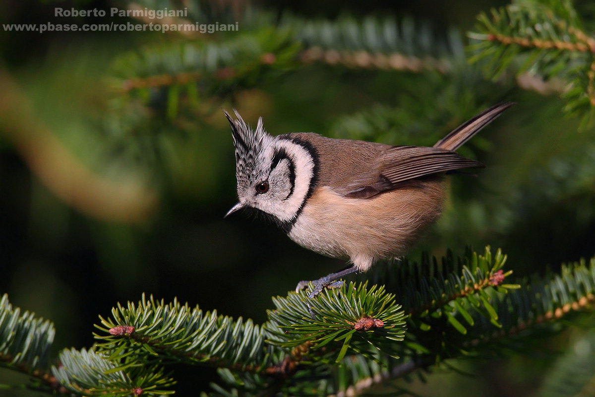 Crested Tit...