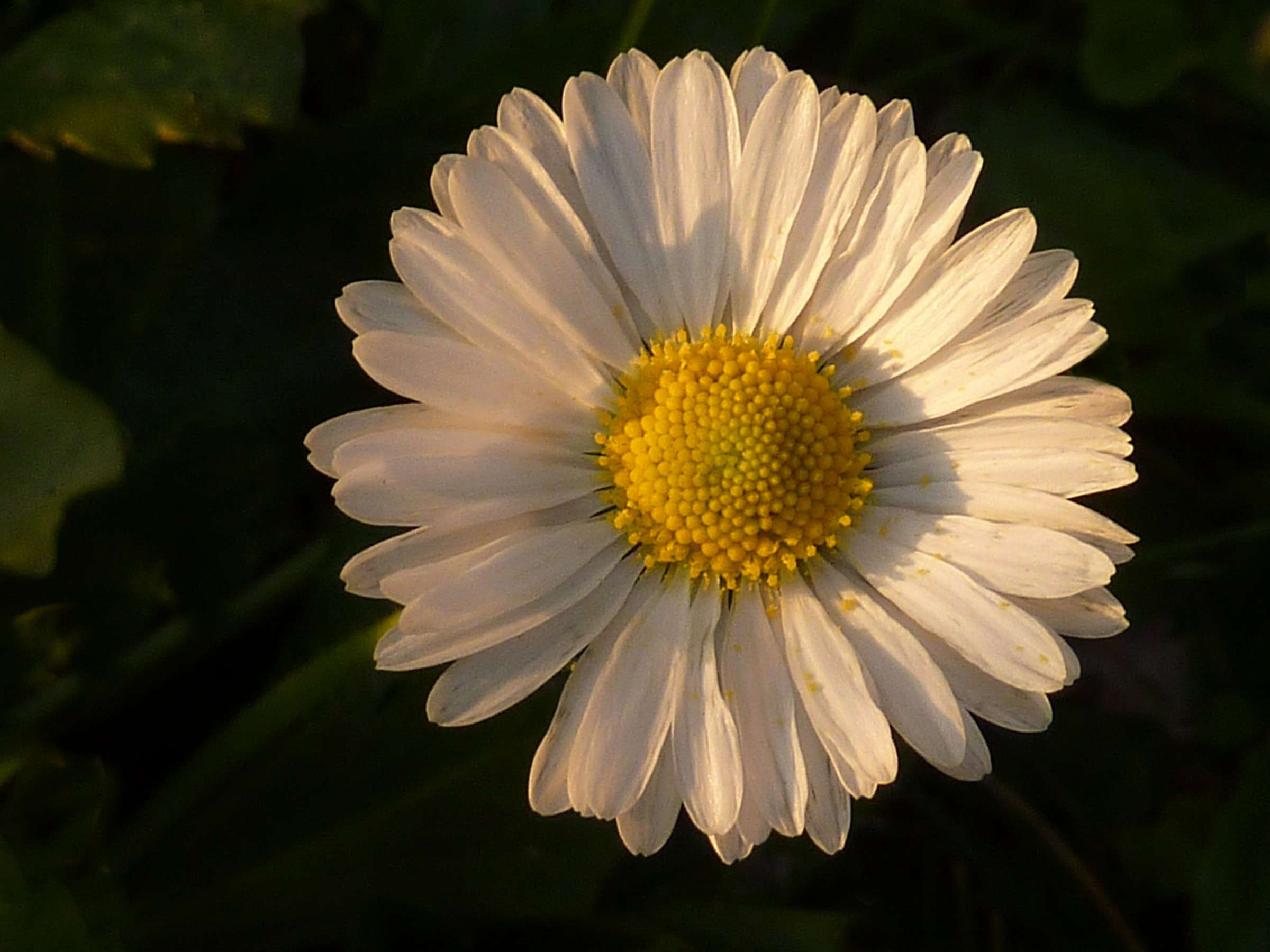 The smile of the daisy...
