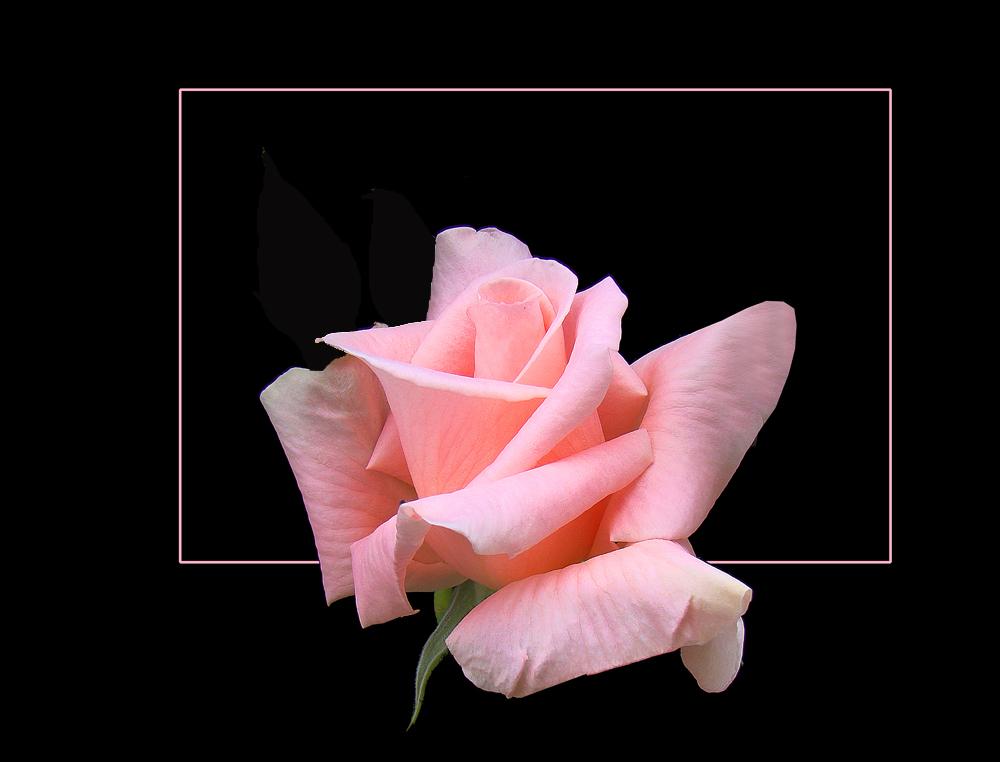 tea rose...