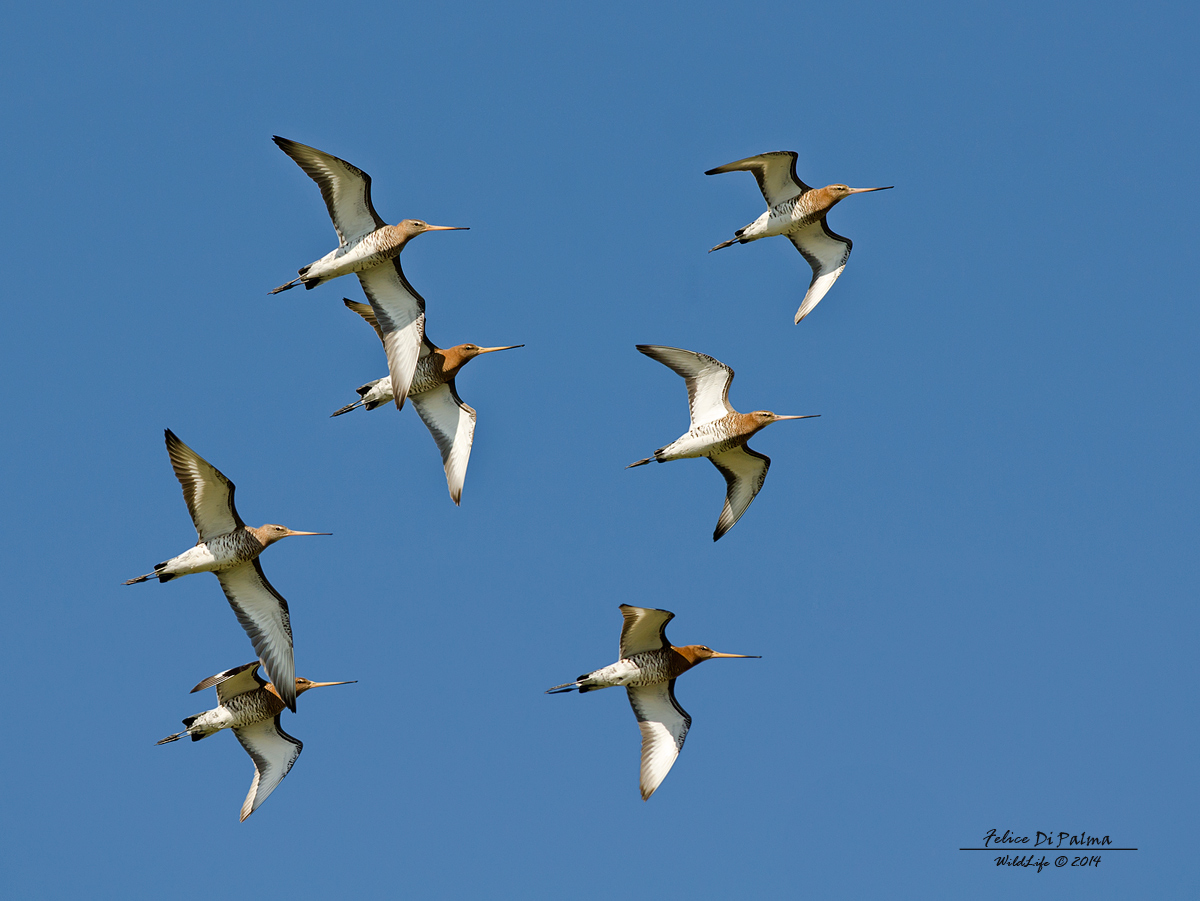 Godwits in flight...
