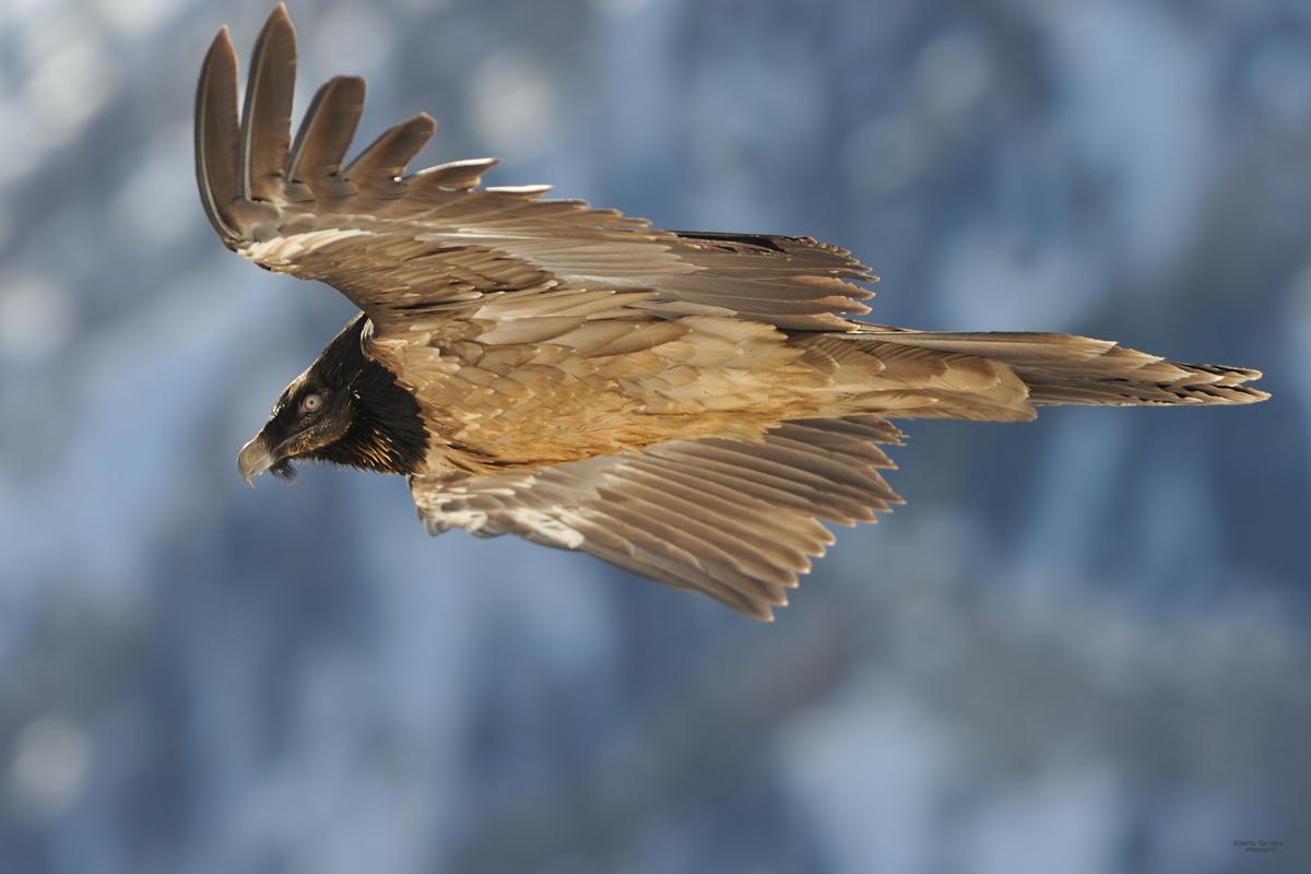Parourt 1 vulture born free in Italy...