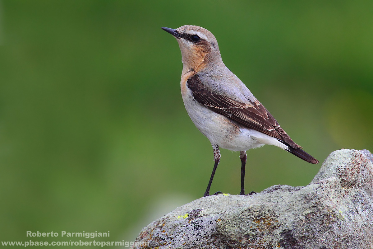The Sentinel (wheatear)...