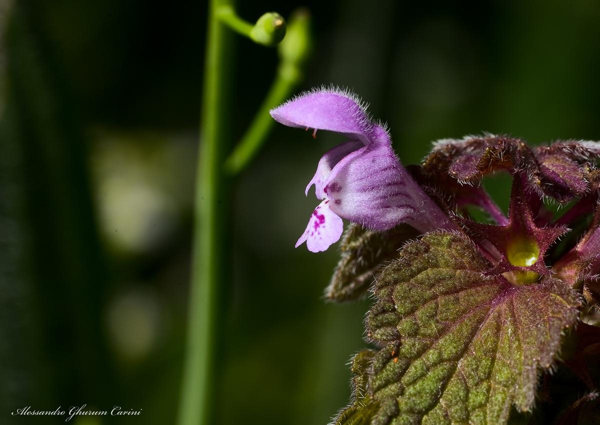 Lamium purpureum...