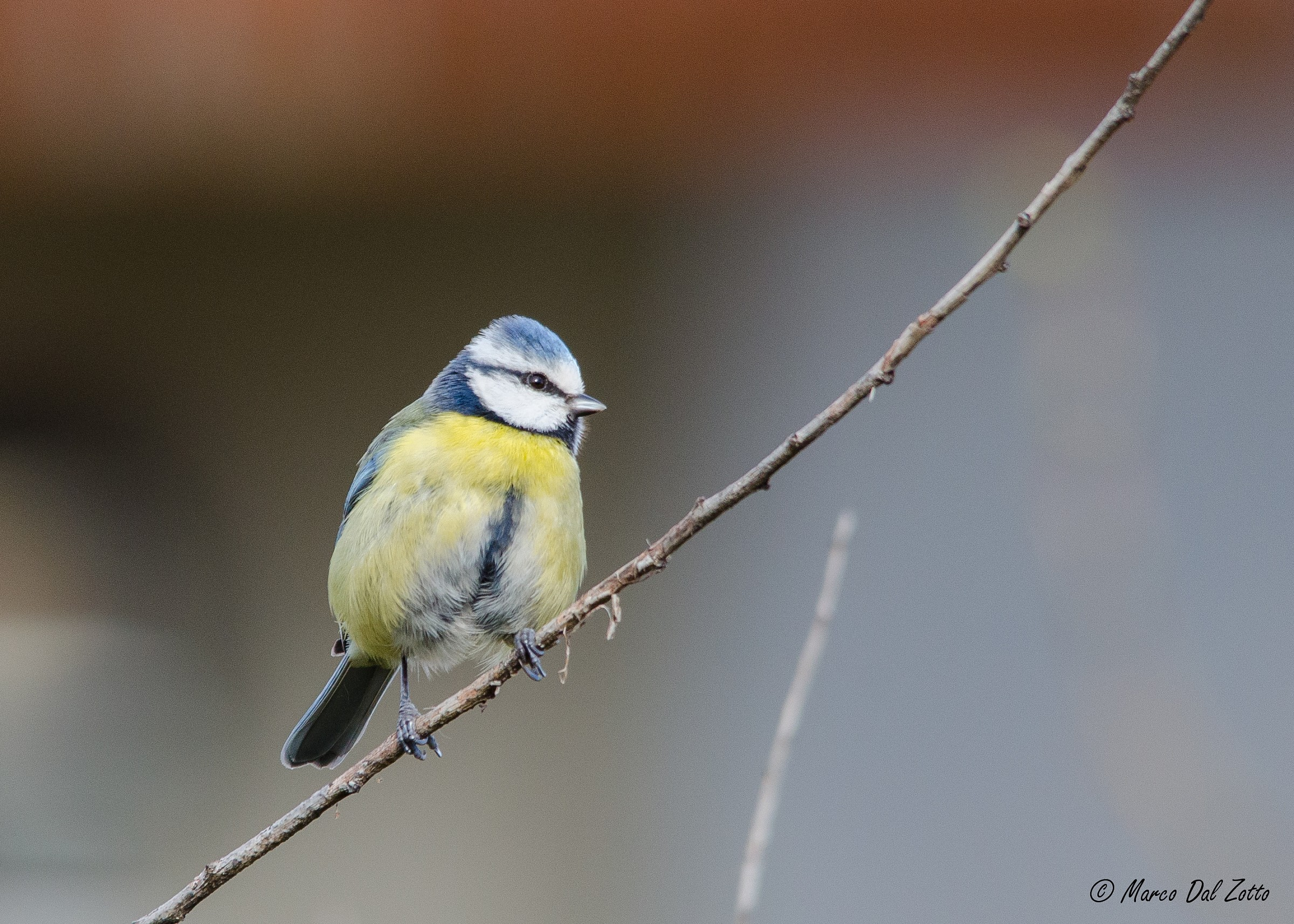 Blue Tit in the early morning...
