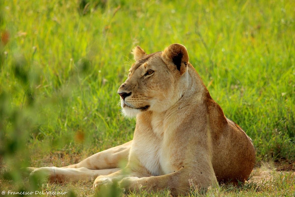Lioness Pride Hammerkop...