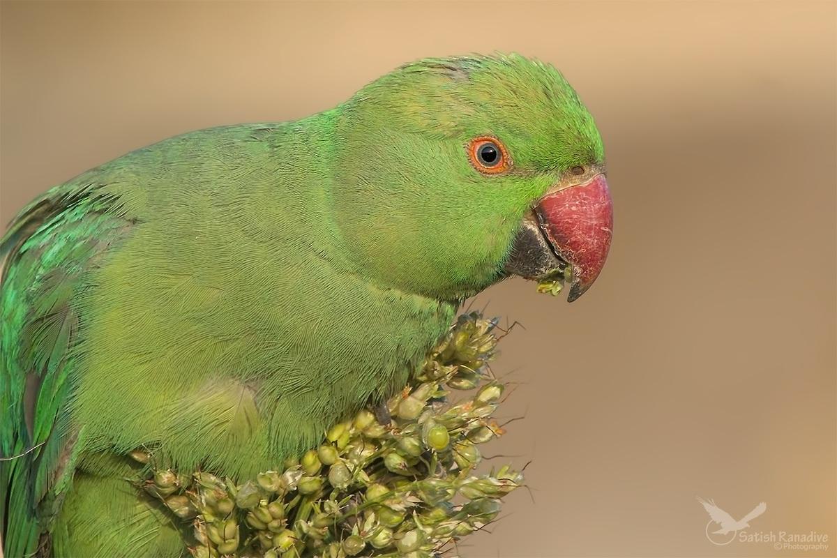Juvenile Parakeet...