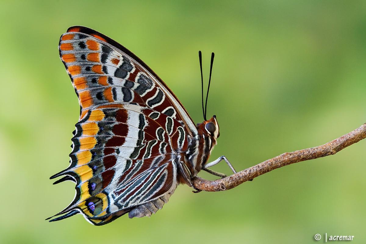 Charaxes jasius # Nymphalidae...