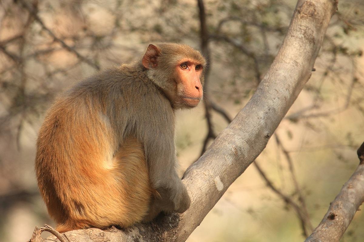 Macaque...