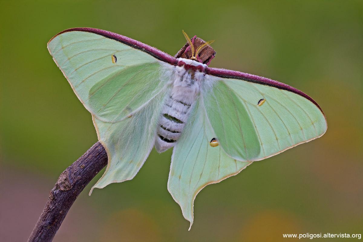 Moth artemis...