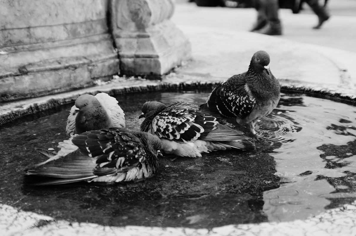 the toilette of the pigeons...