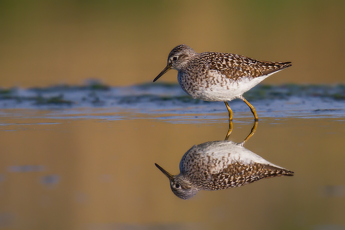 Reflections of sandpipers...
