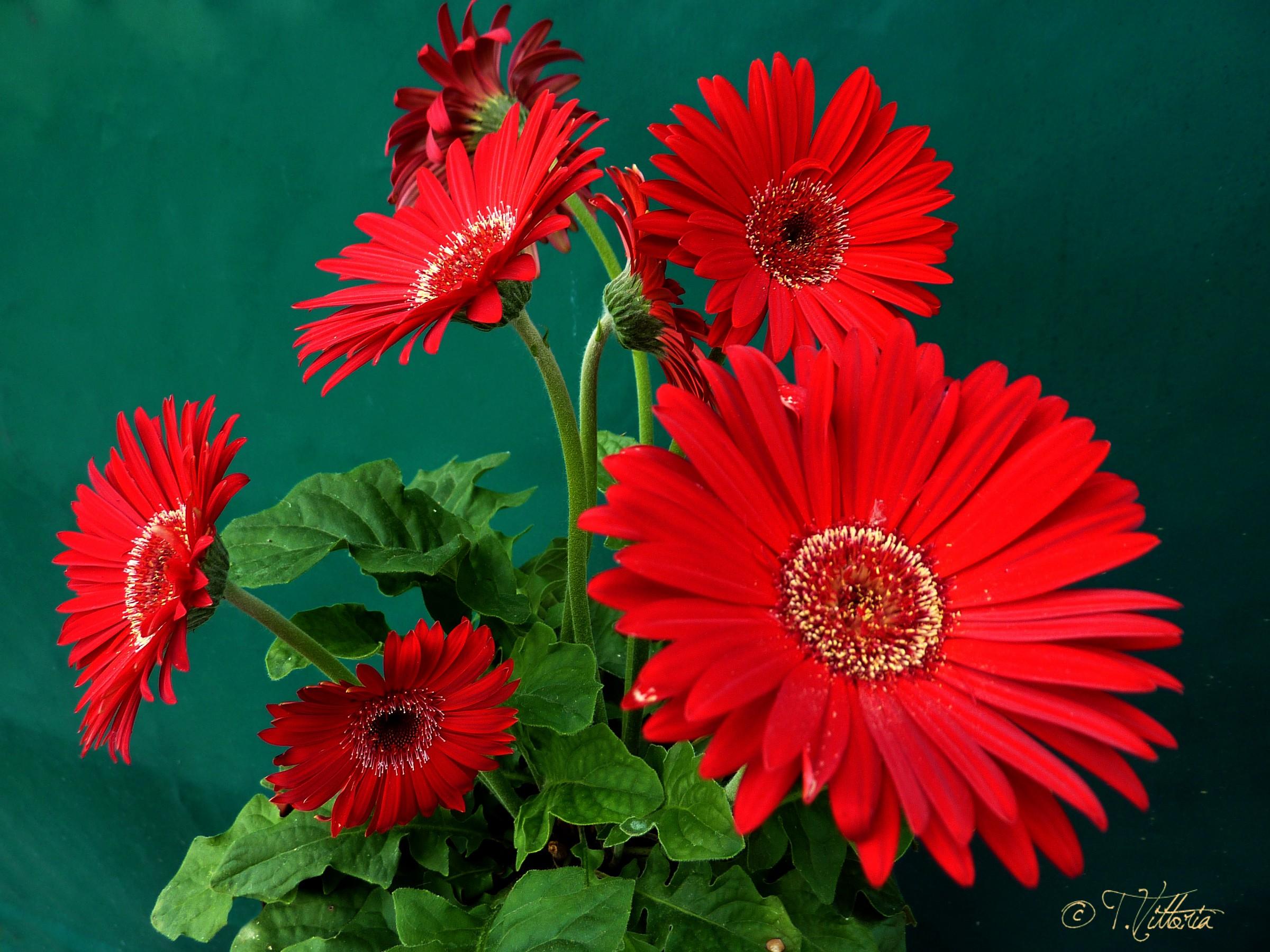 Red gerberas...