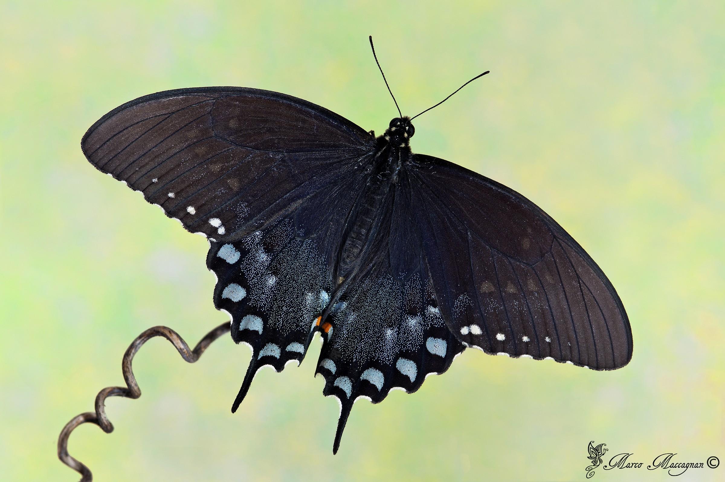 Papilio Troilus...