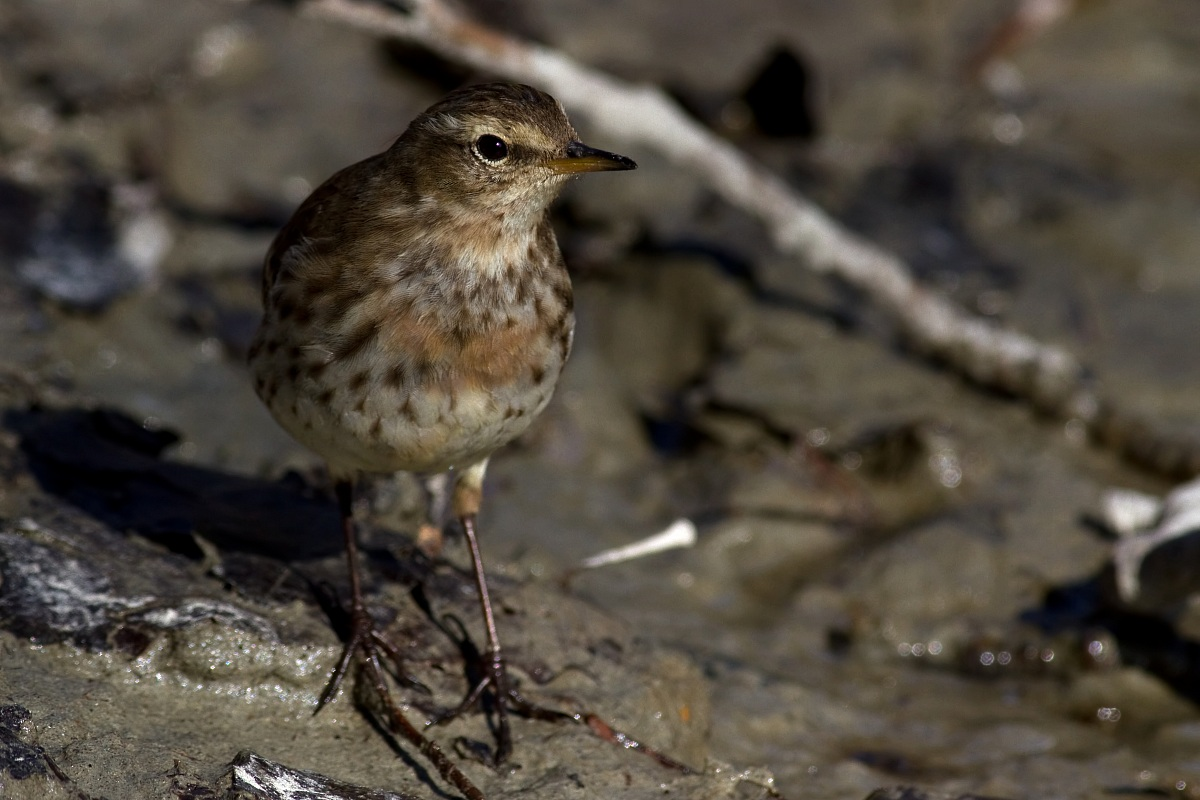 Pipit...