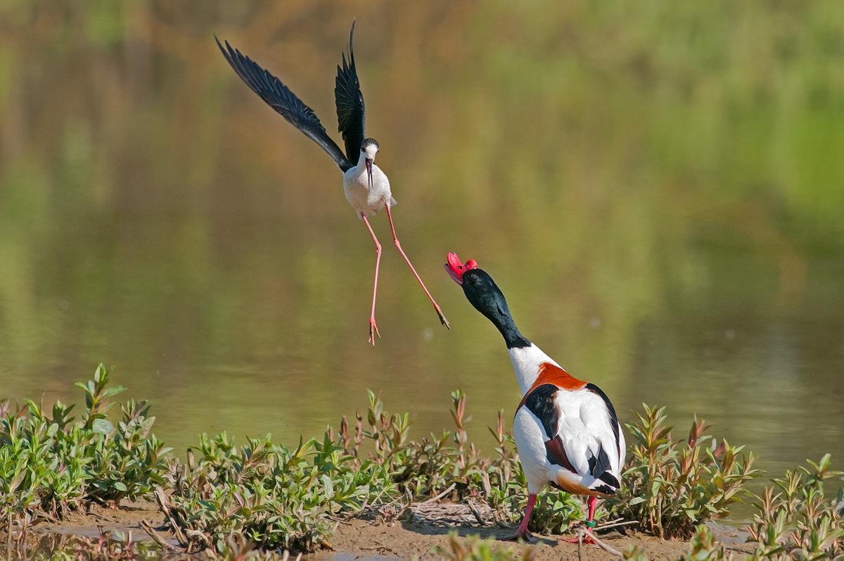 Quarrels in the swamp...