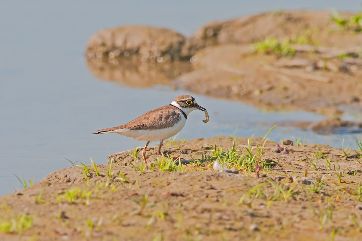 Little Ringed Plover with caterpillar...