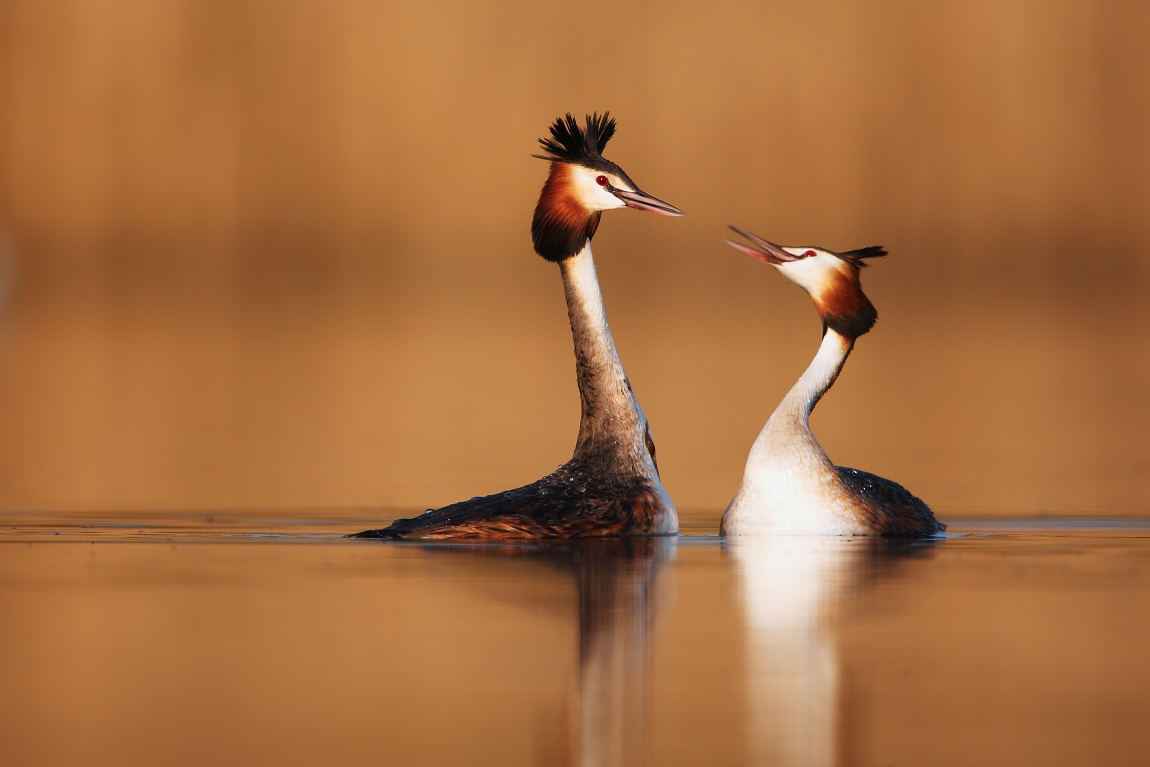 Dancing Great Crested Grebe...