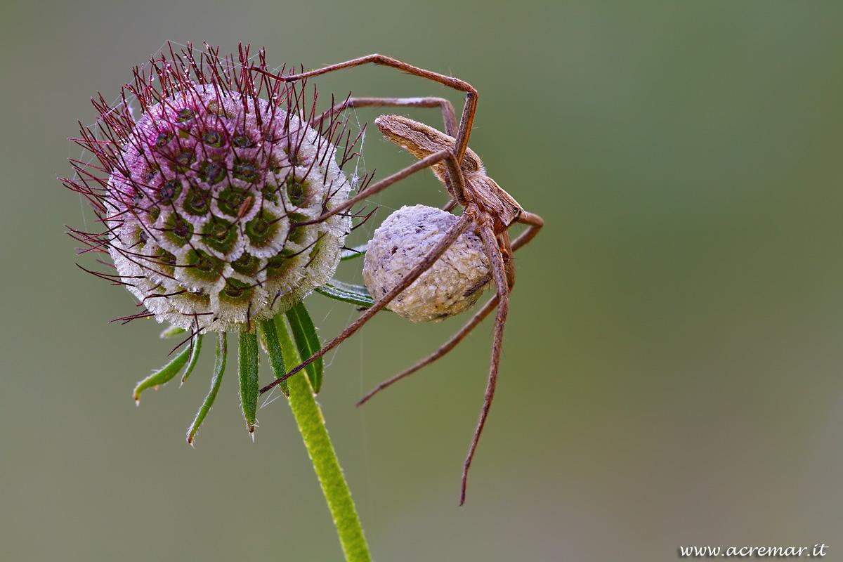 # Arachnida Pisaura...