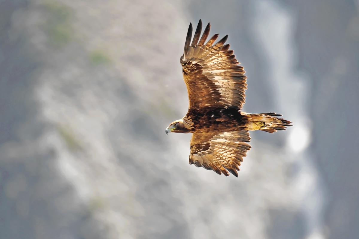 Golden Eagle morning flight ......