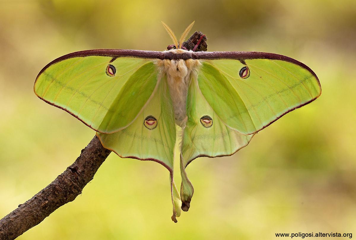 Luna Moth...