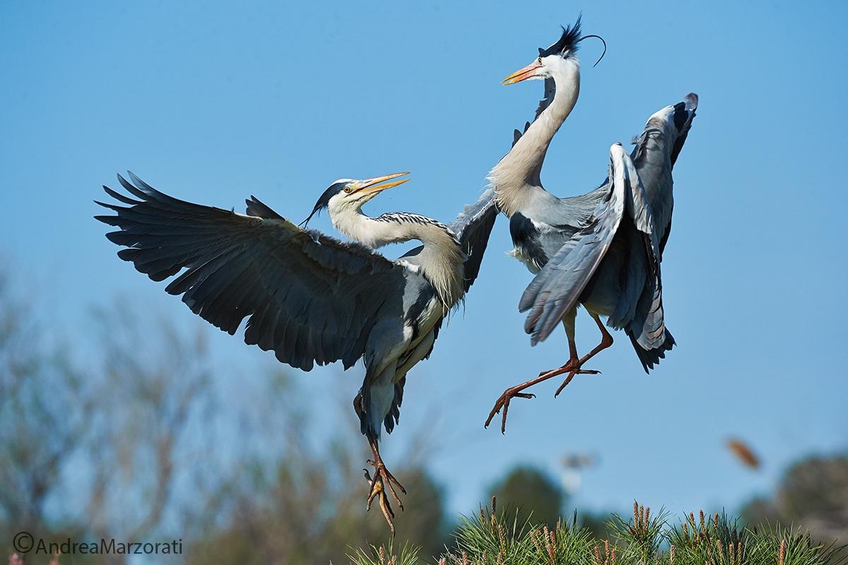 Fight between herons...
