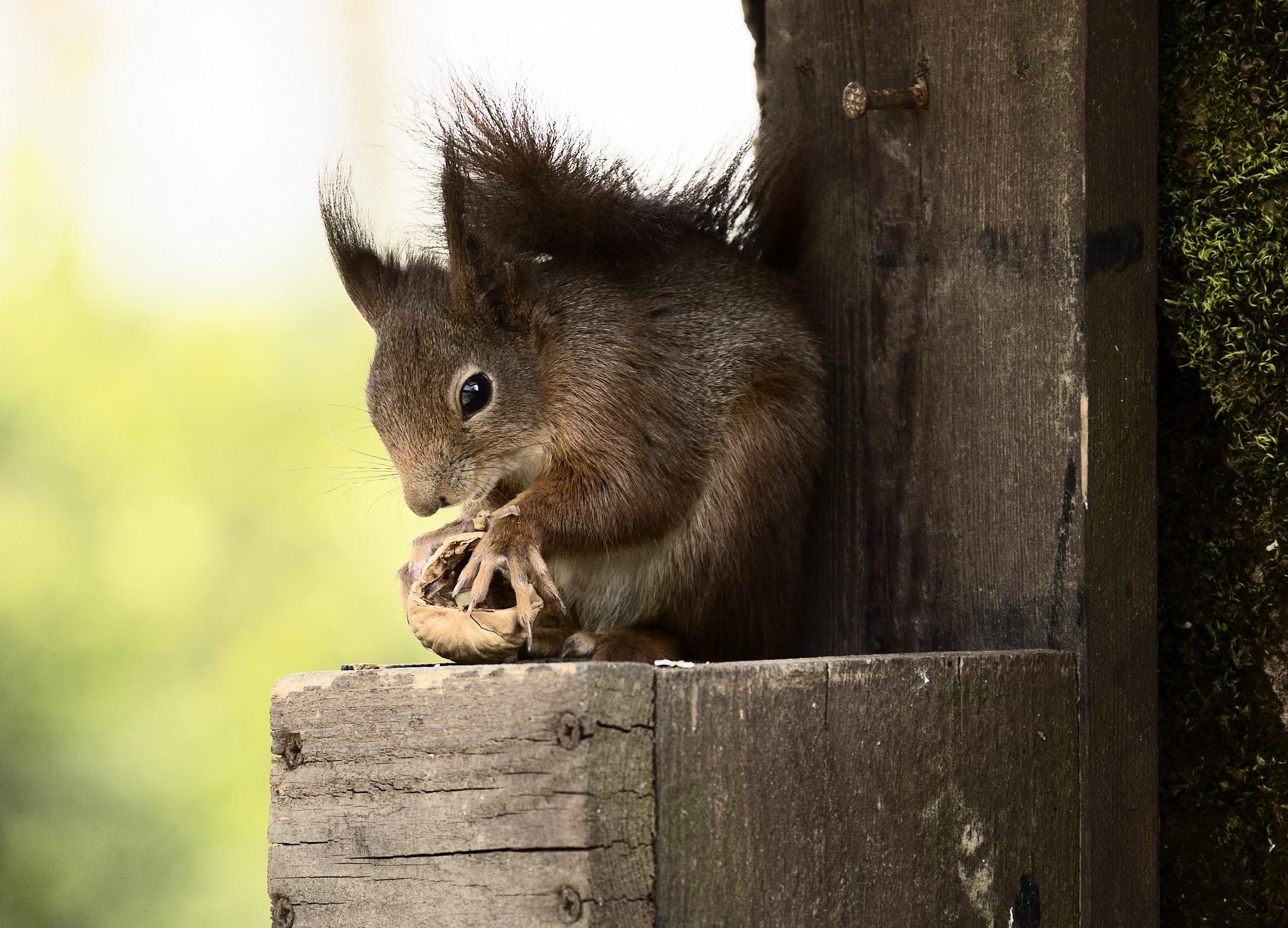 squirrel at the restaurant...