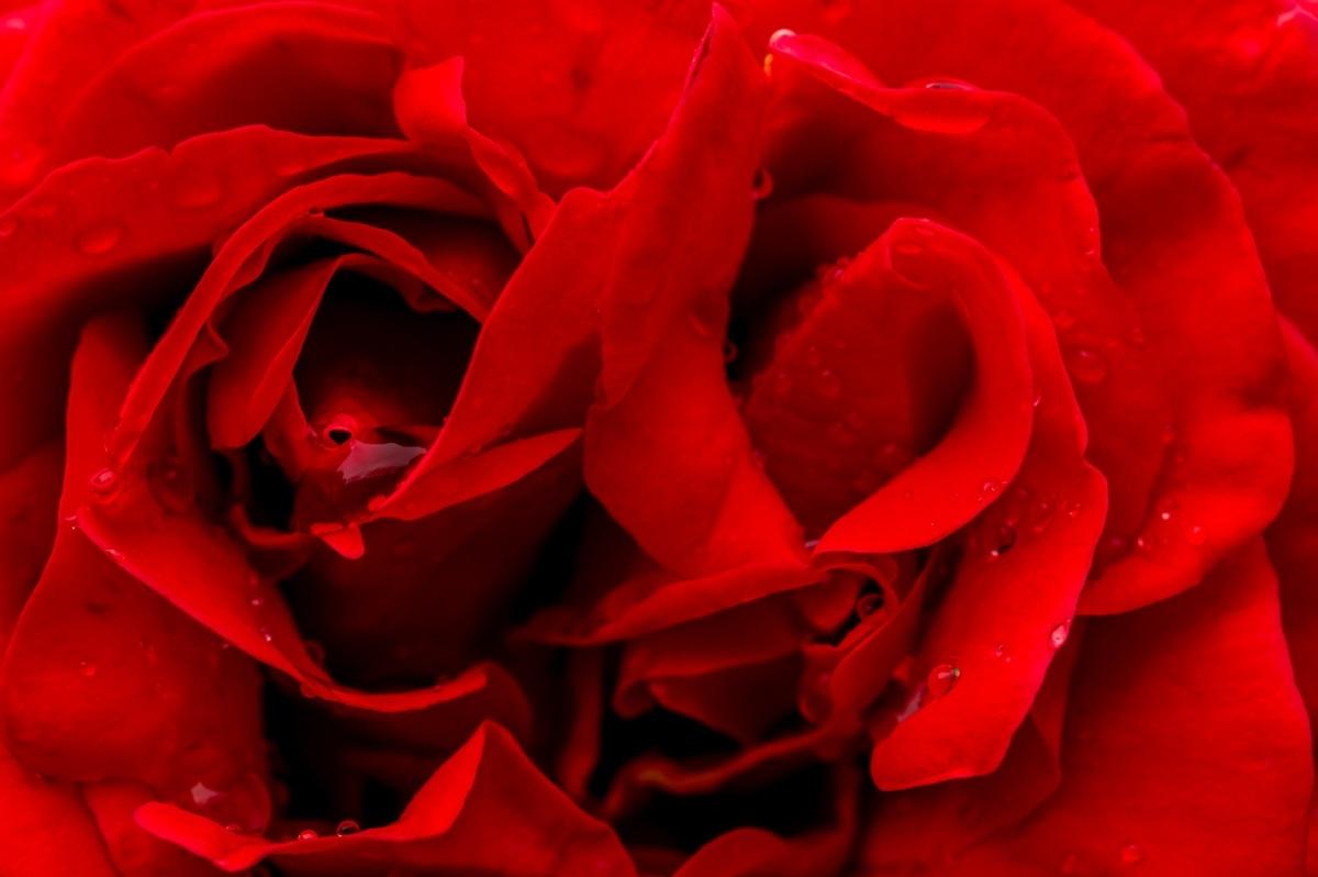 Rosa con gocce d 39 acqua juzaphoto for Finestra con gocce d acqua