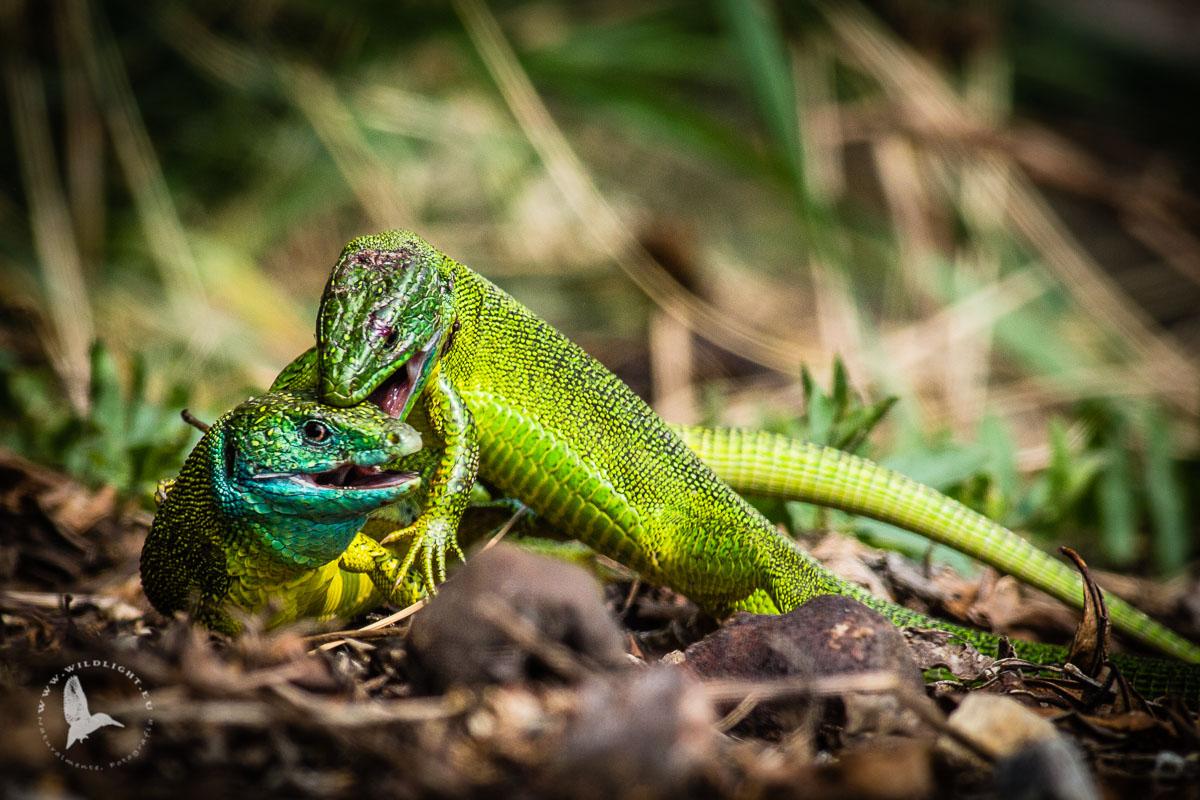 Lizards and homeland defense III...