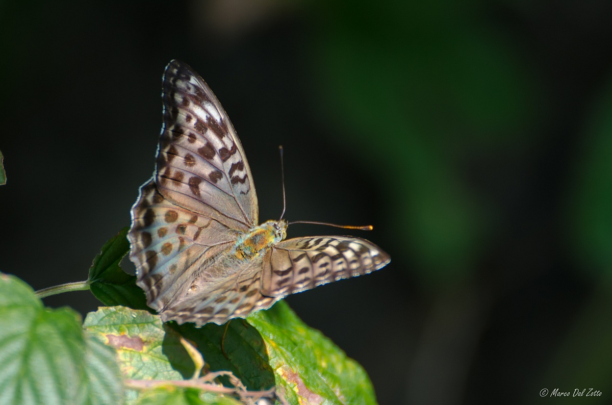 Argynnis paphia valesina...
