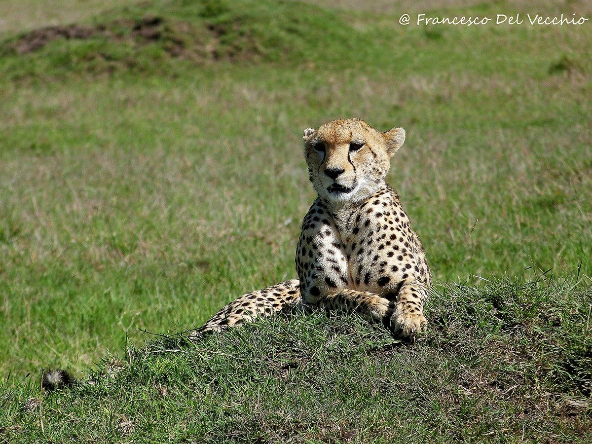 Masai Mara cheetah in Masr Pride area...