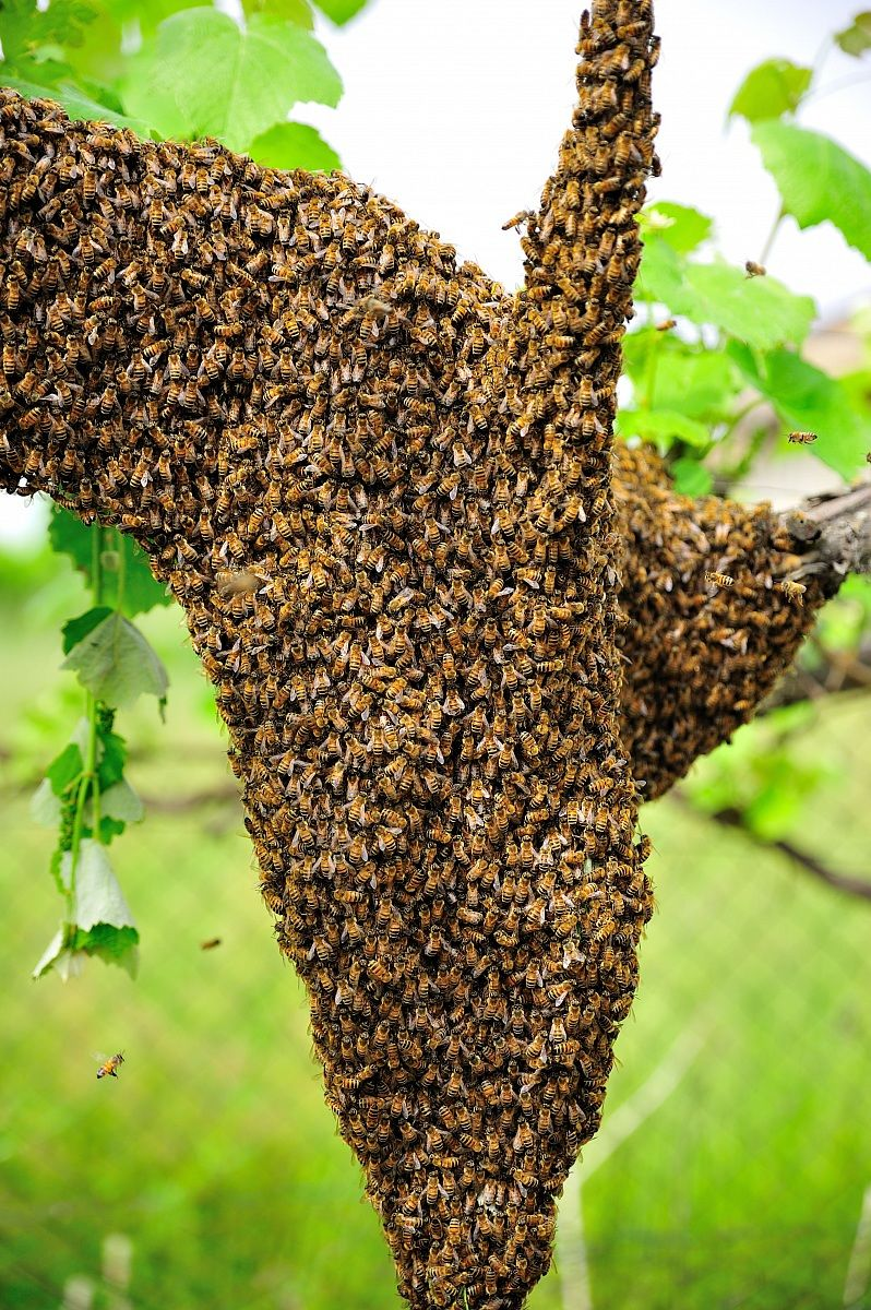 swarm of bees...