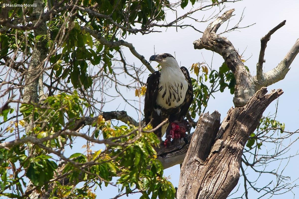 Aquila pescatrice (Haliaeetus vocifer)...