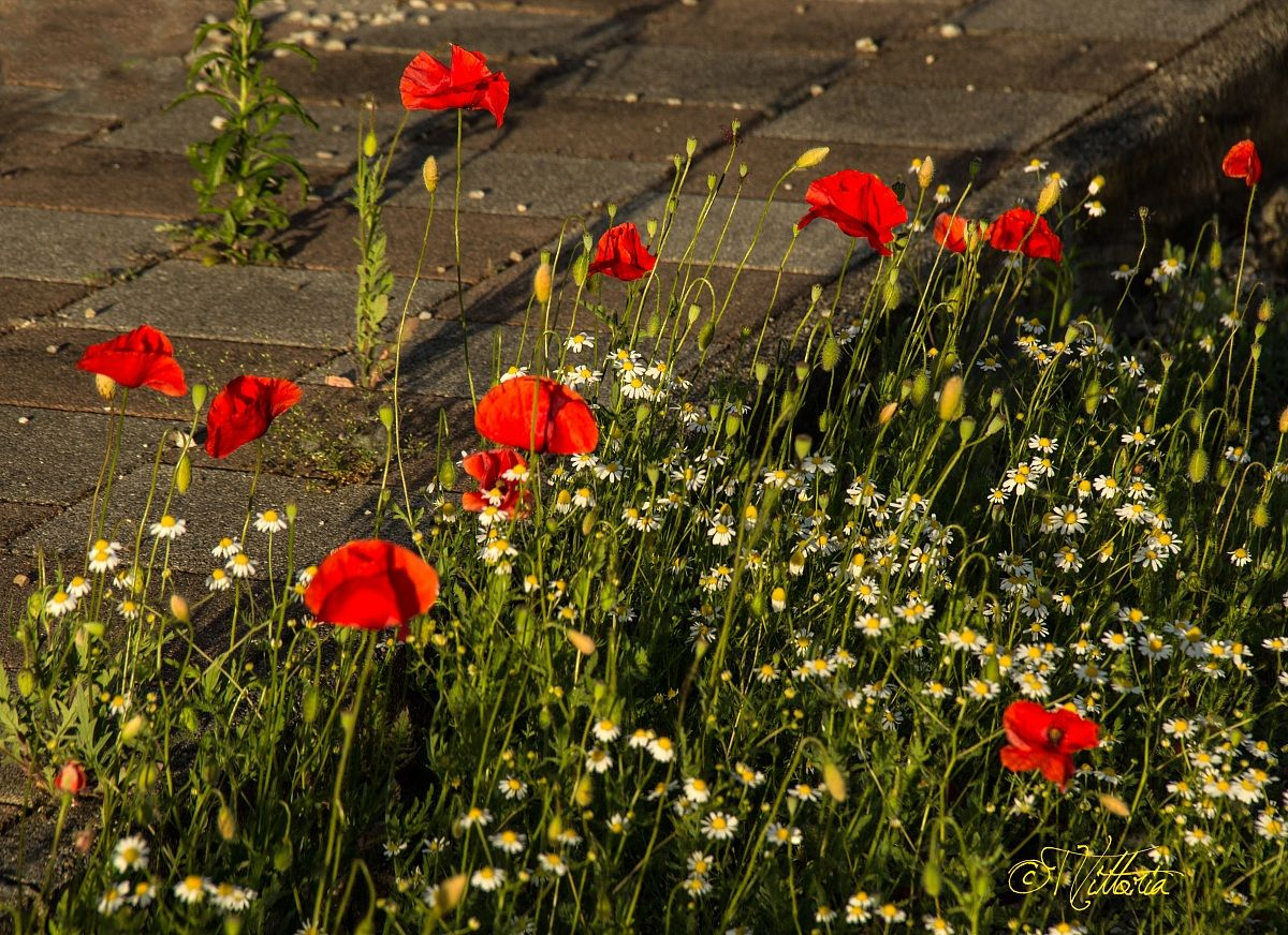 Chamomile and poppies...