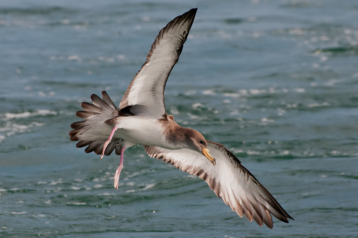 Cory's Shearwater in aerial maneuver...