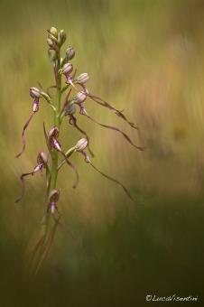 Himantoglossum adriaticum