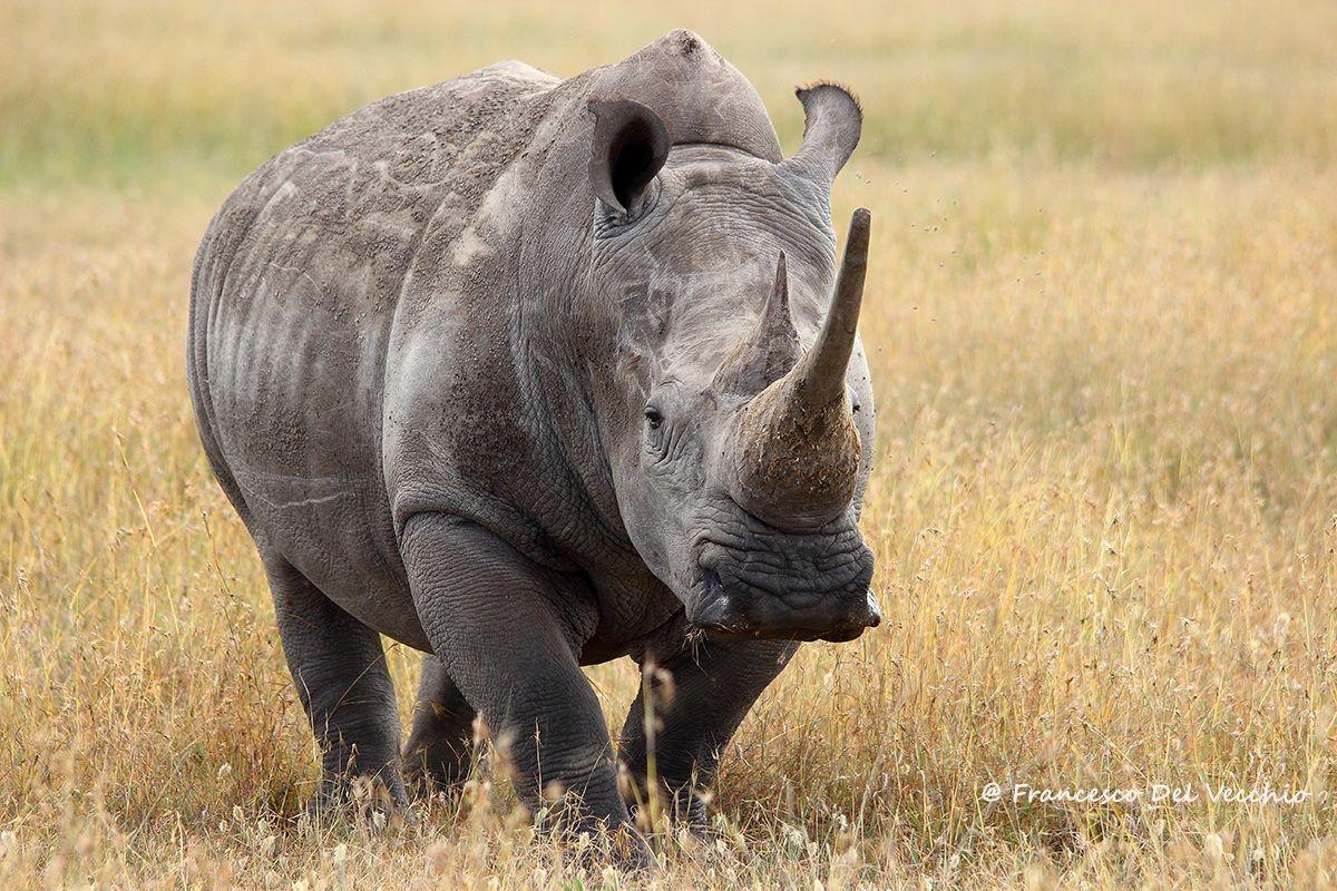 White Rhino Bull...