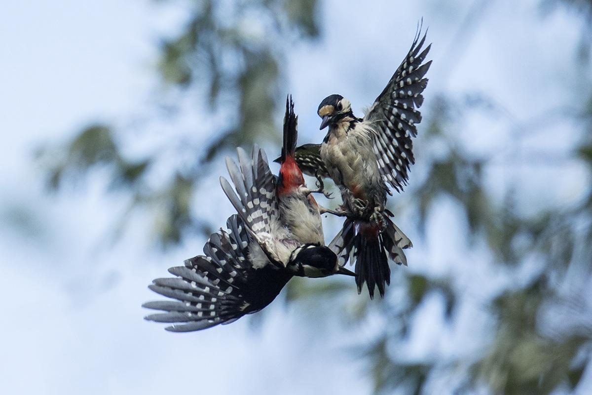 Woodpecker .... bickering .........