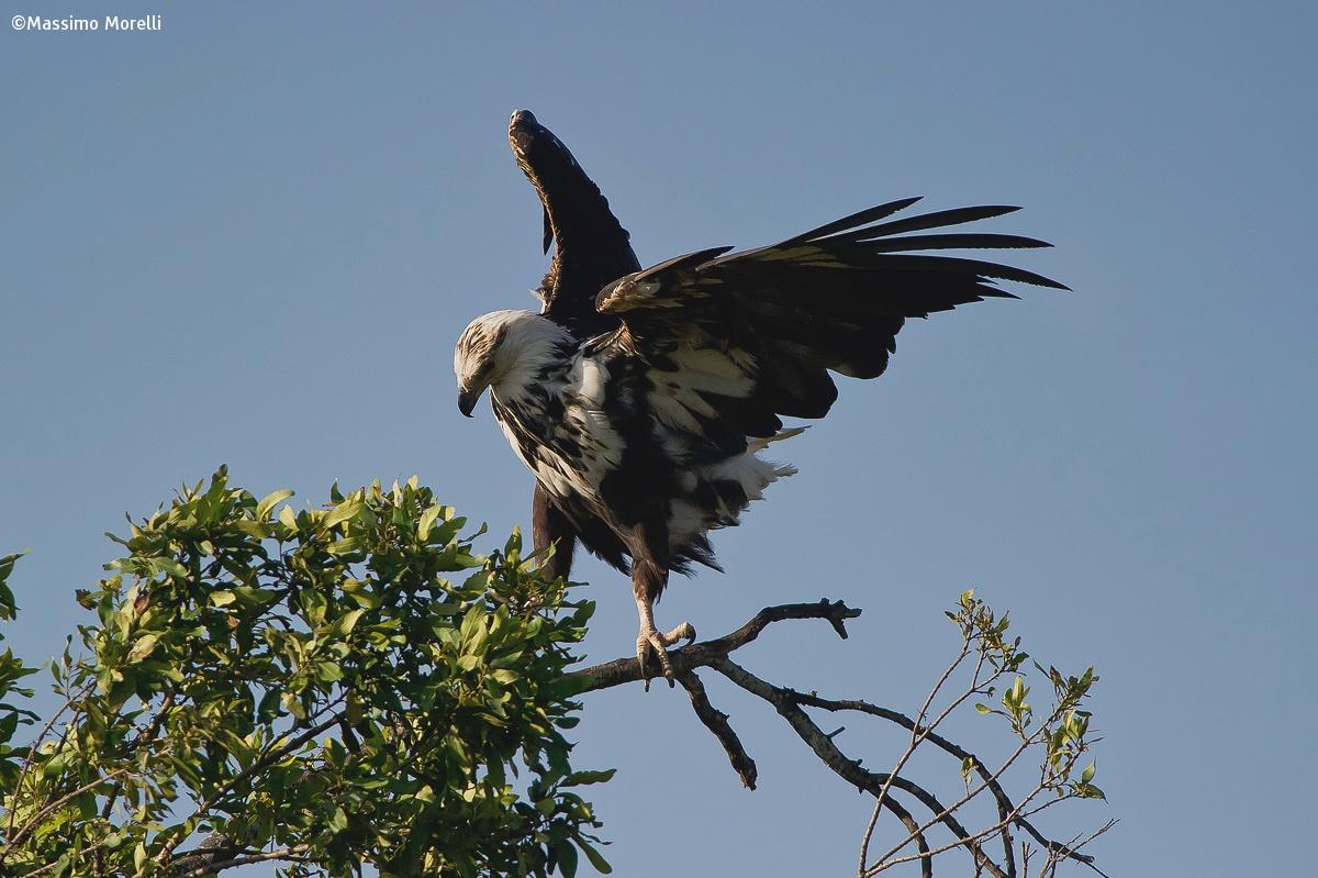 Fish Eagle...