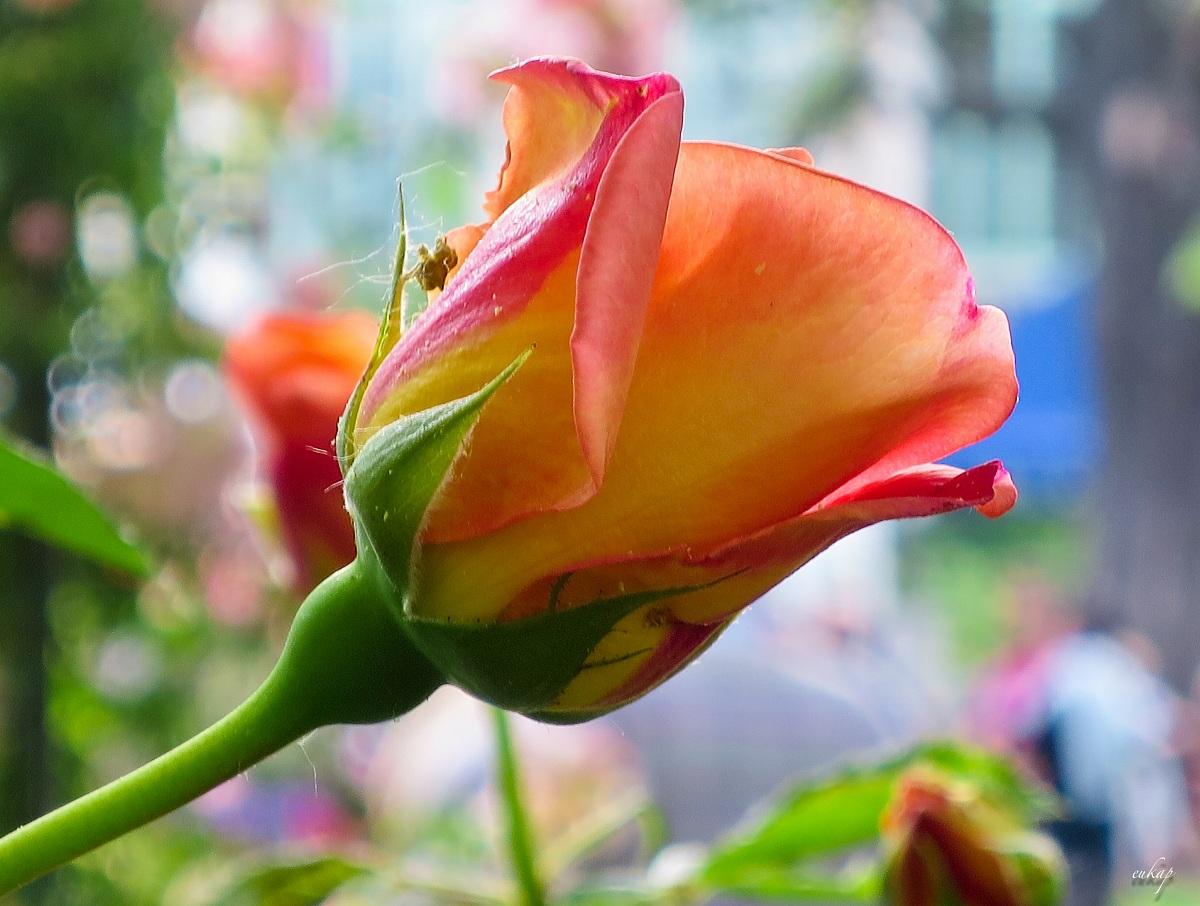 Rosa gialla...