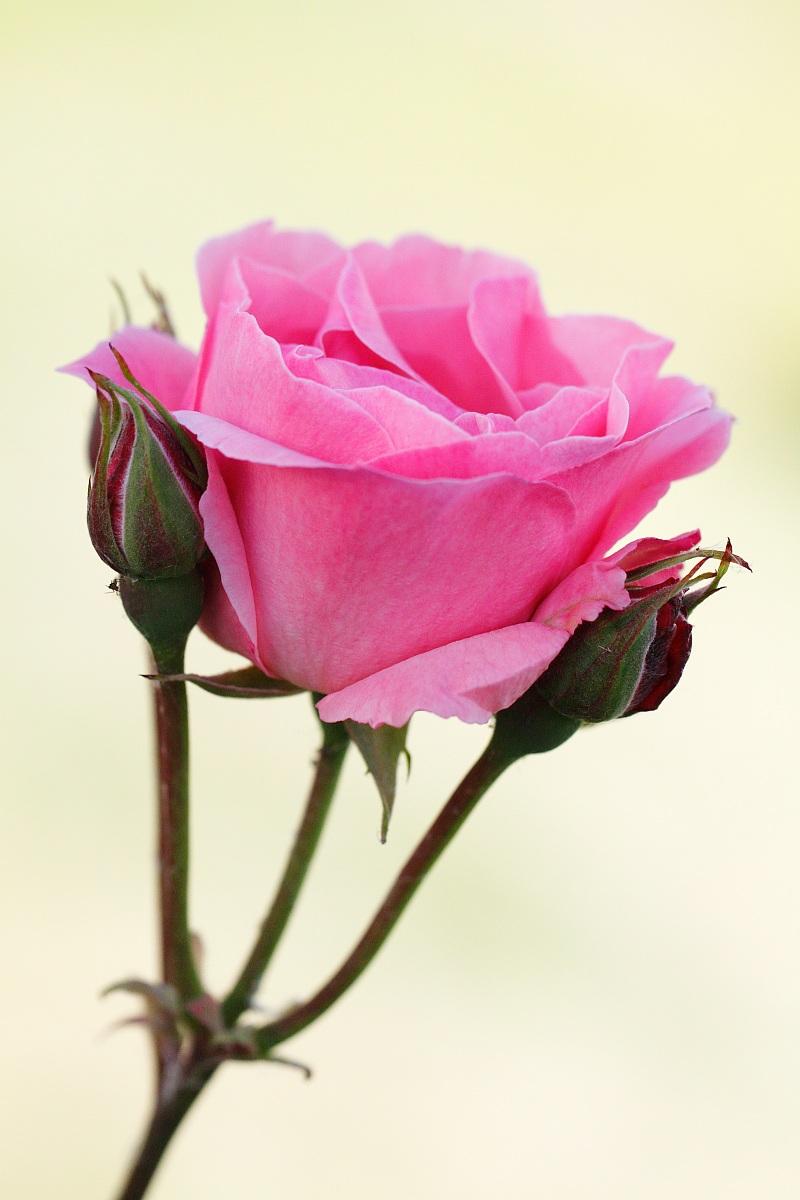 Rosa.....