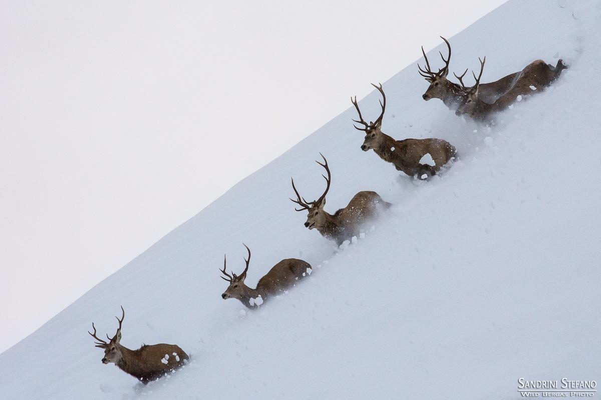 Deer Avalanche...