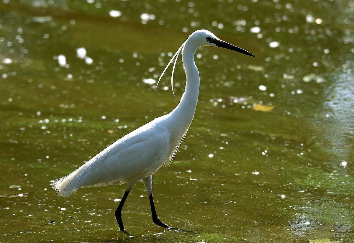 Egret - Cropping and resizing to 1200...