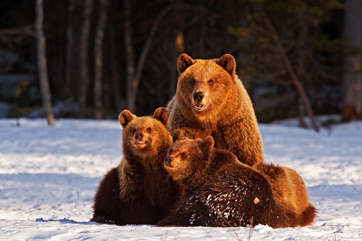 Bears burned...